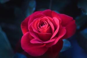 rose-996571_640